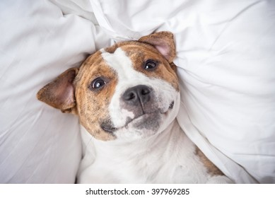 Funny american staffordshire terrier dog having fun on the bed