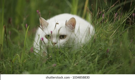 funny animals - beautiful big white british cat with golden eyes  sitting outside in high green grass close up, on a summer day in Europe