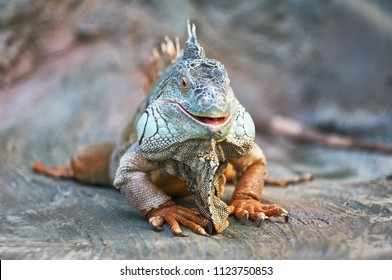 Image of: Pics Funny Animals Lizard Iguana Smile Face Funny Lizard Ds106 Assignment Bank Funny Animals Images Stock Photos Vectors Shutterstock