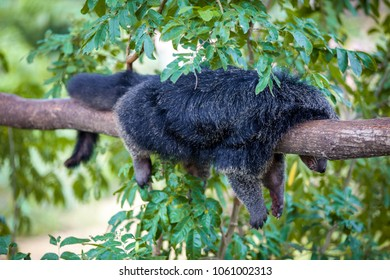 Funny arctictis binturong lies on a branch having given paws down