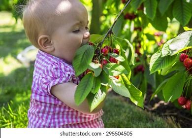 Funny baby eating cherries straight from the tree