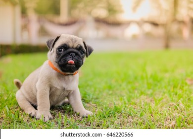 Funny baby pug dog eating dog snack on grass field.
