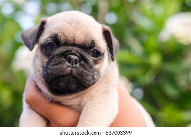500 Pug Puppy Pictures Royalty Free Images Stock Photos And Vectors