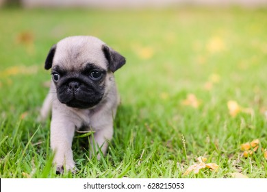 Funny baby pug dog playing on grass and yellow flower.