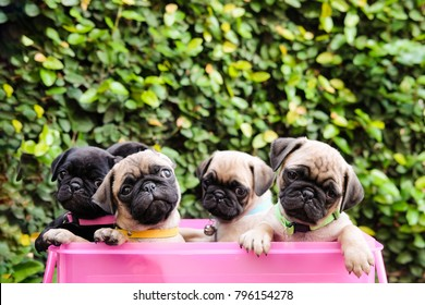 Funny baby pug dog playing in pink basket.