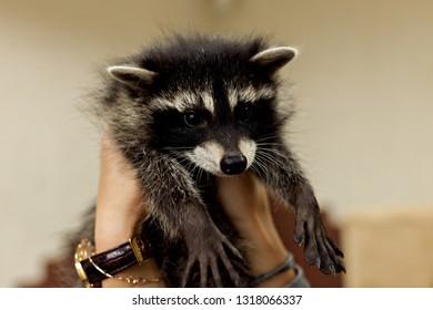 Funny baby raccoon. Raccon in the girl hands
