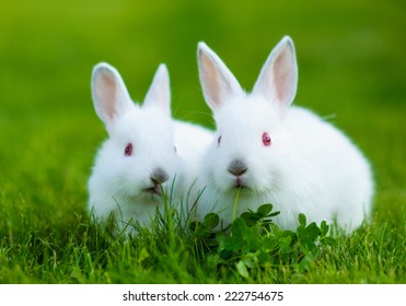 Funny baby white rabbit eating clover in grass