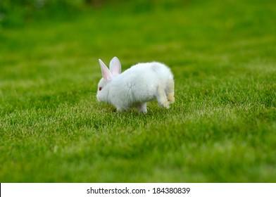 Funny baby white rabbit running in grass