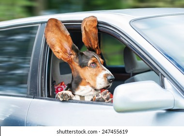 Funny basset hound with ears up driving in a car
