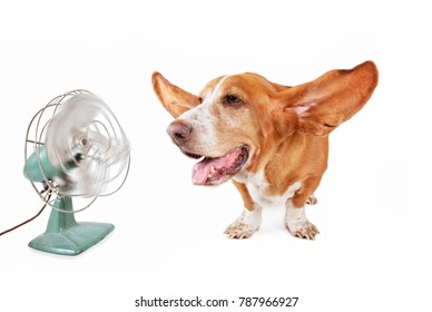 funny basset hound sitting in front of an electric fan with her ears flying out and panting isolated on a white background
