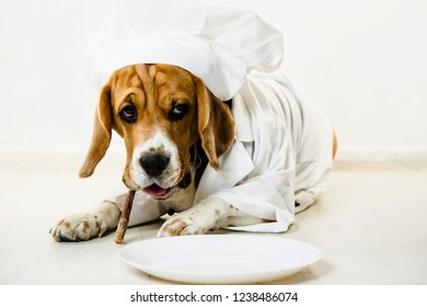 funny beagle dog in chef's cap and chef uniform will cook on a plate