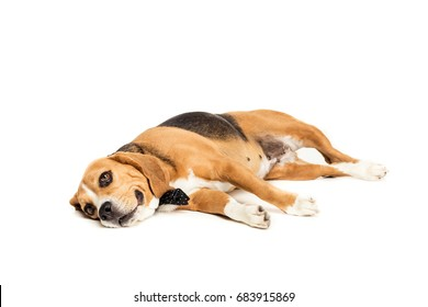 funny beagle dog lying and relaxing isolated on white
