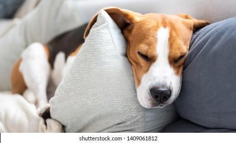 Funny beagle dog sleeps on cozy sofa. Animal background