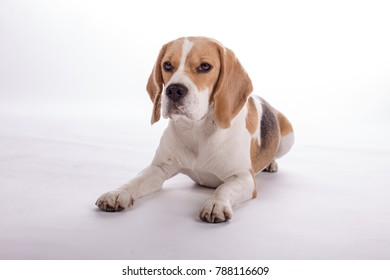 Funny beagle doing tricks and excersise on white background