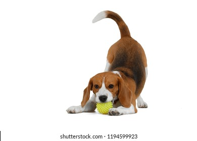 Funny Beagle on a white background with a ball