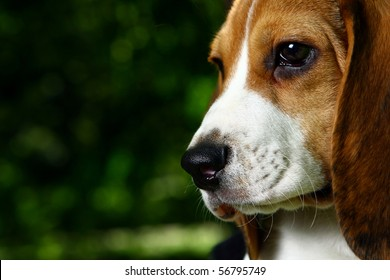funny beagle puppy in the park