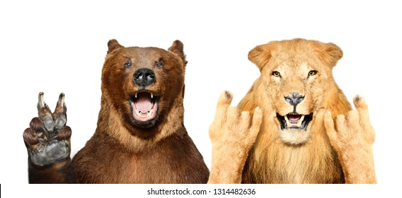 Funny bear and lion showing gestures isolated on white background