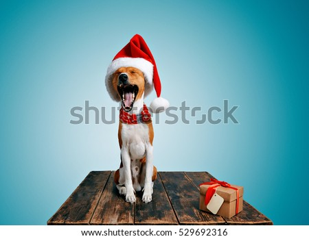 90c92c4a44c Funny beautiful basenji dog wearing christmas santa hat and yawning on  camera next to craft box