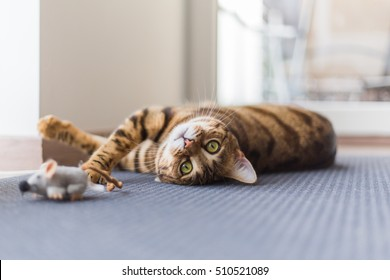 Funny beautiful Bengal cat playing in the house on the floor with a mouse.