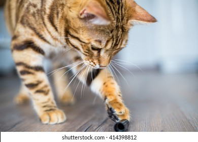 Funny beautiful cute bengal cat playing on the floor