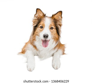 funny beautiful dog holds with its paws a white banner or poster. The background is isolated.