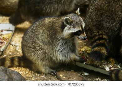 Funny beautiful raccoon.Raccoon in the zoo.Many raccoons