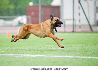 funny Belgian Shepherd Malinois dog running on stadium