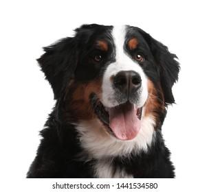 Funny Bernese mountain dog on white background