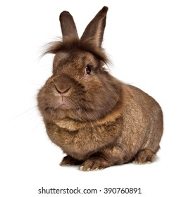 Funny big head chocolate colored lionhead rabbit, isolated on white background