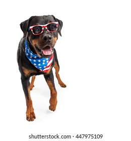 Funny big Rottweiler dog wearing bandana and sunglasses with American flag design.