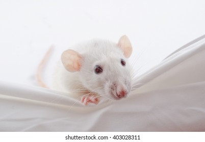 Funny big-eared white rat peeping over the edge (selective focus on the nose and whiskers)