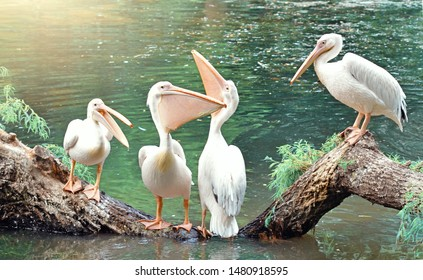 Funny birds white pelicans talking.