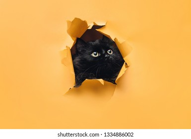 Funny black cat looks through ripped hole in yellow paper. Peekaboo. Naughty pets and mischievous domestic animals.