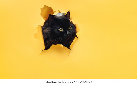 Funny black cat looks through ripped hole in yellow paper. Naughty pets and mischievous domestic animals. Peekaboo. Copy space.