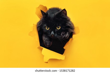 Funny black cat looks through ripped hole in yellow paper. Peekaboo. Naughty pets and mischievous domestic animals. Copy space. The concept of jump, aggression and anger.
