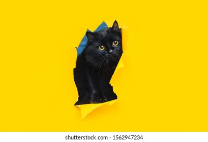 Funny black cat looks up through ripped hole in yellow paper. Peekaboo. Naughty pets and mischievous domestic animals. Copy space, bright background.
