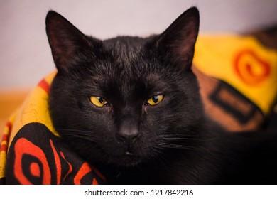 funny black cat. sly look. close photo.