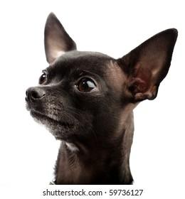 funny black chihuahua
