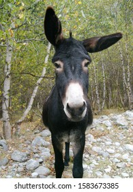 """Funny black donkey with a white tummy and nose, among birches. He stands and looks straight, but one eye bent in surprise bent to the side. For the holiday """"Donkey Day"""""""