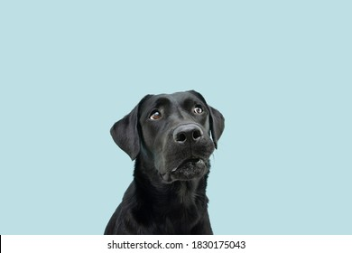 Funny black labrador dog looking up giving you whale eye caught red-handed with guilty expression. Isolated on colored blue background.