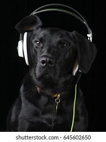 Funny Black Labrador Dog wearing music headphones like a DJ