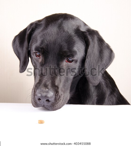 Funny black Labrador Retriever looking at a single piece of dry dog food lying on the table (selective focus on the dog eyes)