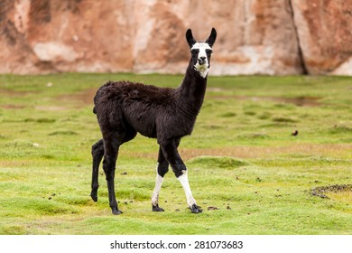 Funny black Lama glama with white head between grass and rocks in the andean plateau