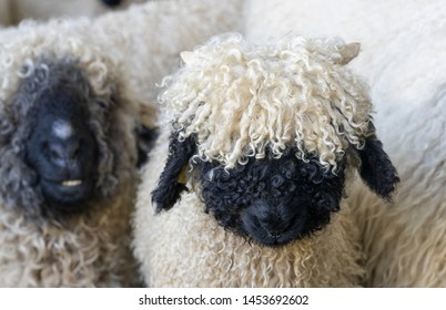 funny black nosed sheep in the mountains of Zermatt, Valais, Wallis, Switzerland