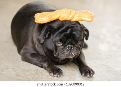 Funny Black pug dog sitting wait to eat ribbon bakery.
