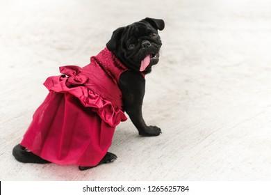 Funny Black pug dog wearing  Vine red Evening dress.
