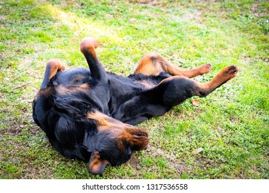 Funny black watchdog playing outdoors. Beautiful rottweiler lying on the grass
