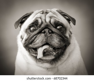 funny black and white photo of a little Pug dog