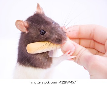 Funny black and white rat taking a cheese stick from a human hand (isolated on white), selective focus on the rat eyes