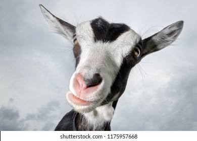 Funny black and white spotted goat with pink nose , and fur earrings , shot with wide-angle lens on the sky background